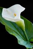 calla κρίνος λουλουδιών Στοκ εικόνες με δικαίωμα ελεύθερης χρήσης