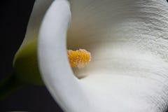 calla κρίνος Στοκ Εικόνες