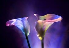 calla κρίνος Στοκ εικόνα με δικαίωμα ελεύθερης χρήσης