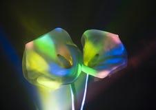 calla κρίνος Στοκ Φωτογραφία