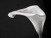 calla κρίνος Στοκ Φωτογραφίες