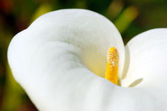calla λουλούδι Στοκ Εικόνα