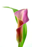 Calla με το φύλλο Στοκ φωτογραφία με δικαίωμα ελεύθερης χρήσης