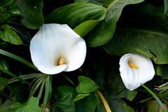 Calla λουλουδιών Στοκ Εικόνα
