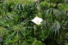 Calla λουλουδιών Στοκ Εικόνες