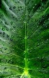 calla покидает waterdrops лилии Стоковое Изображение RF