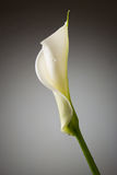 Calla. Lily with water drops on grey background Stock Photo