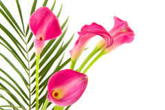 Calla Royalty Free Stock Photography