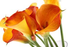 Free Calla Stock Photography - 23284462