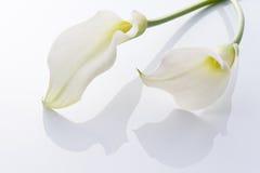 Calla. Beautiful calla on white background Stock Images