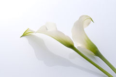 Calla. Close-up of Beautiful calla on white background Stock Image