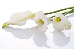 Calla. Close-up of Beautiful calla on white background Stock Photos