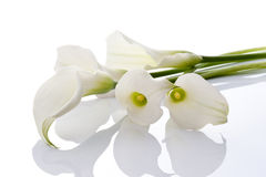 Calla. Close-up of Beautiful calla on white background Royalty Free Stock Photography