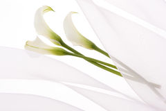 Calla Royalty Free Stock Images