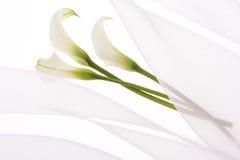 Calla. Beautiful calla on soft chiffon cloth Royalty Free Stock Images
