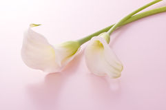 Calla Royalty Free Stock Photos