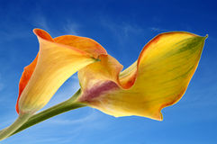 Calla Stock Images