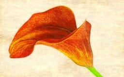 calla Foto de archivo libre de regalías
