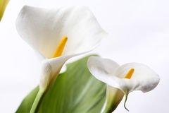 Белая лилия calla Стоковое фото RF