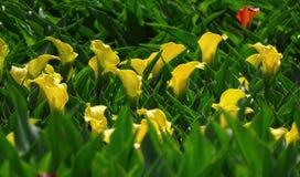 Calla amarelo Fotografia de Stock