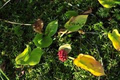 Calla (Arum do pântano, Calla do pântano) Imagem de Stock