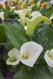 Calla bianca in fioritura fotografia stock