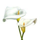 Calla bianca isolata su un bianco Fotografia Stock Libera da Diritti