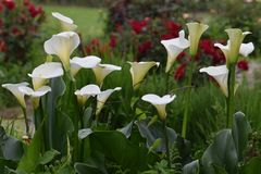 Calla bianca Lily Flower Bunch fotografie stock libere da diritti