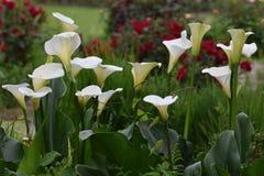 Calla bianca Lily Profile con fogliame verde immagine stock libera da diritti