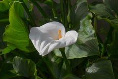 Calla bianca in un giardino fotografia stock libera da diritti