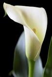 Calla on Black Royalty Free Stock Photo
