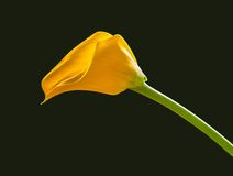 Calla on black background Royalty Free Stock Image