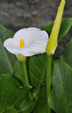 Calla blanche Photos stock