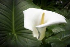 Calla blanche et grande feuille Image libre de droits