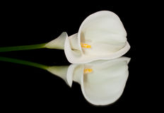 Calla blanche Lilly Photographie stock
