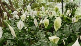 Calla bloemen bij Ngoc-Zoonstempel Stock Afbeelding