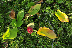 Calla (Bog Arum, Marsh Calla) Stock Image