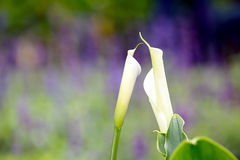 Calla Stock Photo