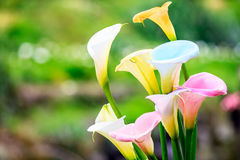Calla Stock Photography