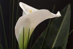 Calla branco Lili na frente do detalhe preto do macro do fundo Imagem de Stock