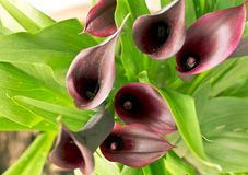 The calla. Close up of purple flower called calla Stock Images