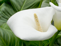 Calla closeup Royalty Free Stock Image