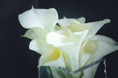 Calla de fleurs blanches sur le fond noir plan rapproché, foyer mou image libre de droits