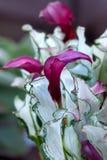 Calla del fiore - regina congelata zantedeschia fotografia stock libera da diritti