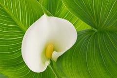 Calla di bianco del fiore Kalla di Alepes Immagine Stock
