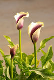 Calla flower Stock Images