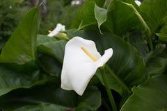 Calla flower Royalty Free Stock Photos