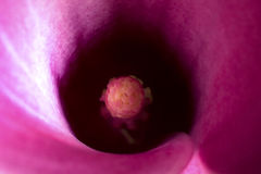 Calla Flower macro Stock Photography