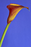 Calla flower Royalty Free Stock Photo