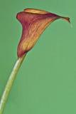 Calla flower Stock Photos